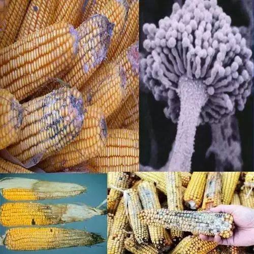 玉米真菌毒素