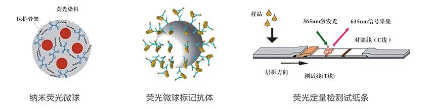 生物素(VB7)荧光定量快速检测试纸条检测原理